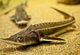 В Калужской области начали разведение осетровой и лососевой молоди для рыбхозяйств