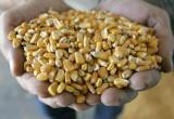 Кукуруза, предназначавшаяся компании «Нестле Россия», оказалась заражена амброзией