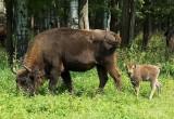 В национальном парке «Угра» активно размножаются зубры