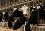 Вьетнамцы хотят построить в Калуге молочные фермы