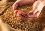 На хлебокомбинате пекли продукцию из заражённой пшеницы