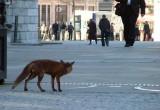 В Калуге лисы объявили сезон охоты. Есть пострадавшие люди