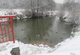 Орнитологи подсчитали зимующих в Калуге уток