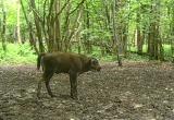 Новорожденного зубренка в лесу сняла фотоловушка. Видео