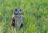 В заповеднике «Калужские засеки» снова поселились болотные совы