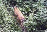 Редкий пятнистый олень посетил калужский заповедник