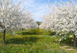 В Калужской области появится 435 гектаров яблоневых садов