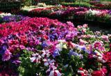 Калужан приглашают на фестиваль «Калуга в цвету»
