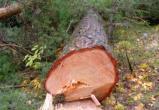 Калужанин незаконно спилил деревья в особо защитном лесу