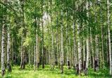 Полсотни русских березок незаконно превратились в дрова