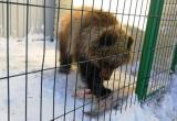 В Калугу приедет медвежонок-сирота с Камчатки