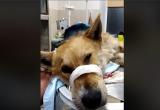 Волонтеры спасают собаку, измученную живодером