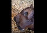 Телёнок с мутацией родился на калужской ферме