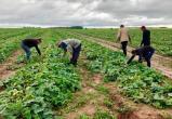 """Полиция совместно с ФСБ """"собрала урожай"""" нелегалов в огуречных полях"""
