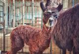 Малышка альпака родилась в калужском зоопарке