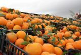 Зараженные личинками мандарины пытались ввезти в Калугу